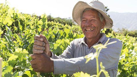 Image of grape leaf harvesy