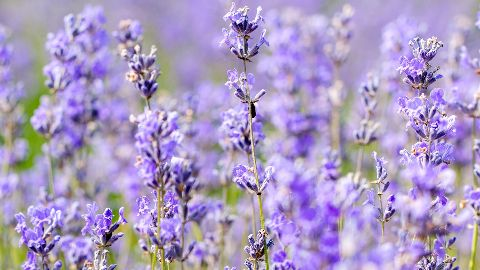 Image of lavender plant