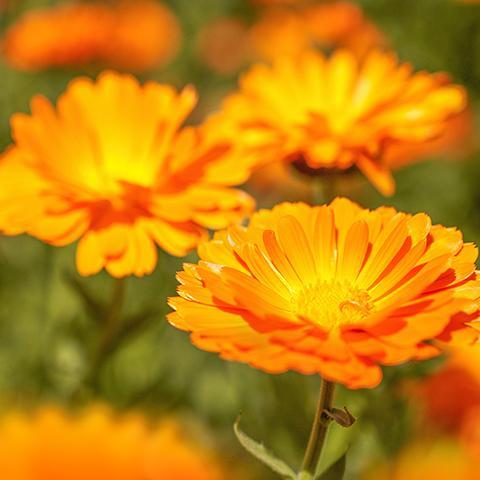 körömvirágok látomása