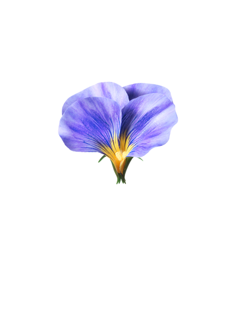 Image of pansy flower cut in half