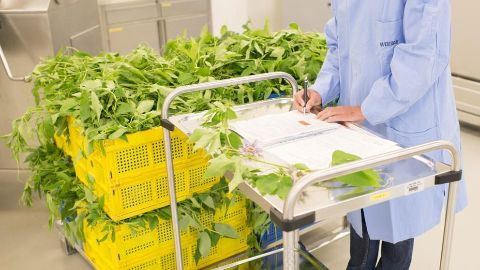 Leaves - production at Weleda