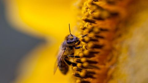 Image of Bee in Sunflower - Nature