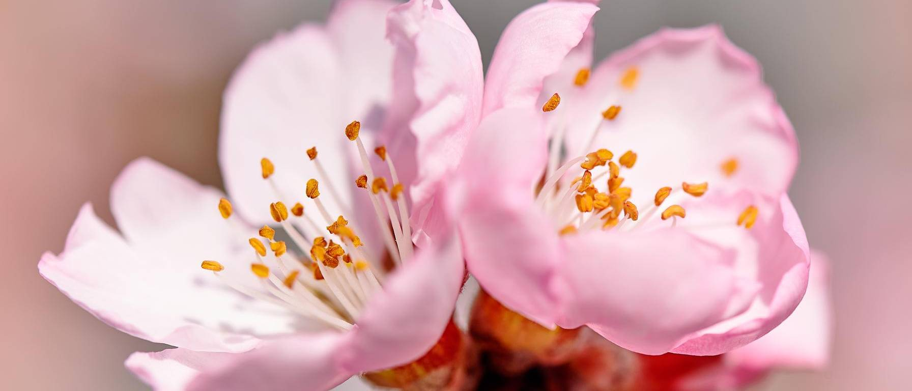 Image of almond petals