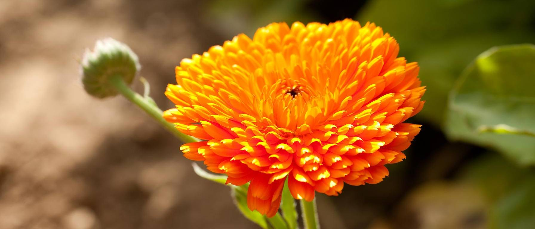 Image of calendula plant field