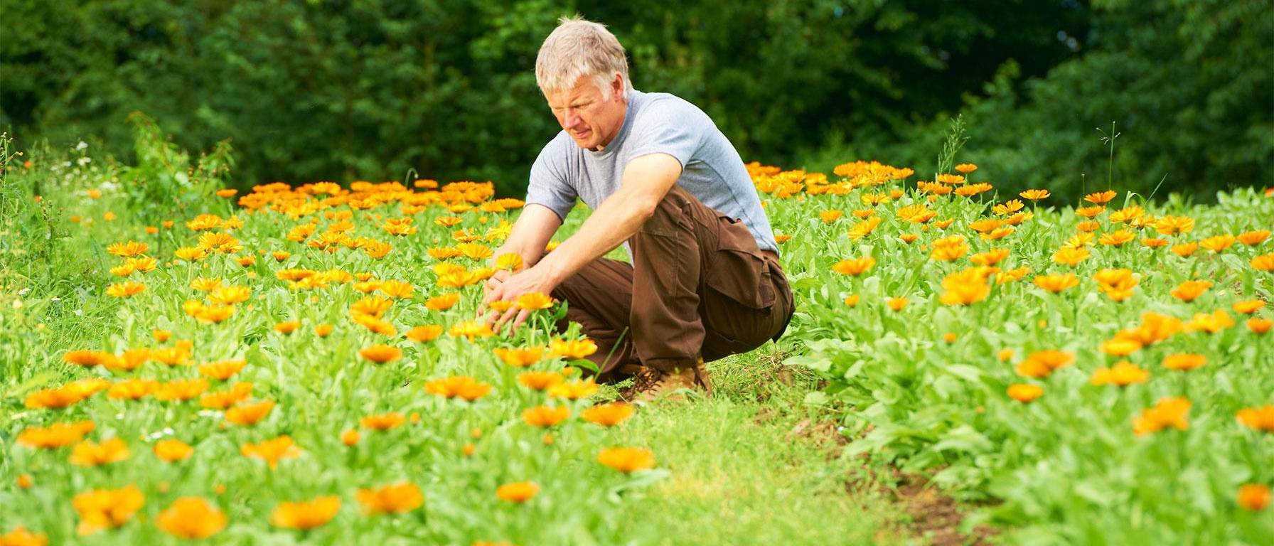 Weleda Gardener takes care of Calendula
