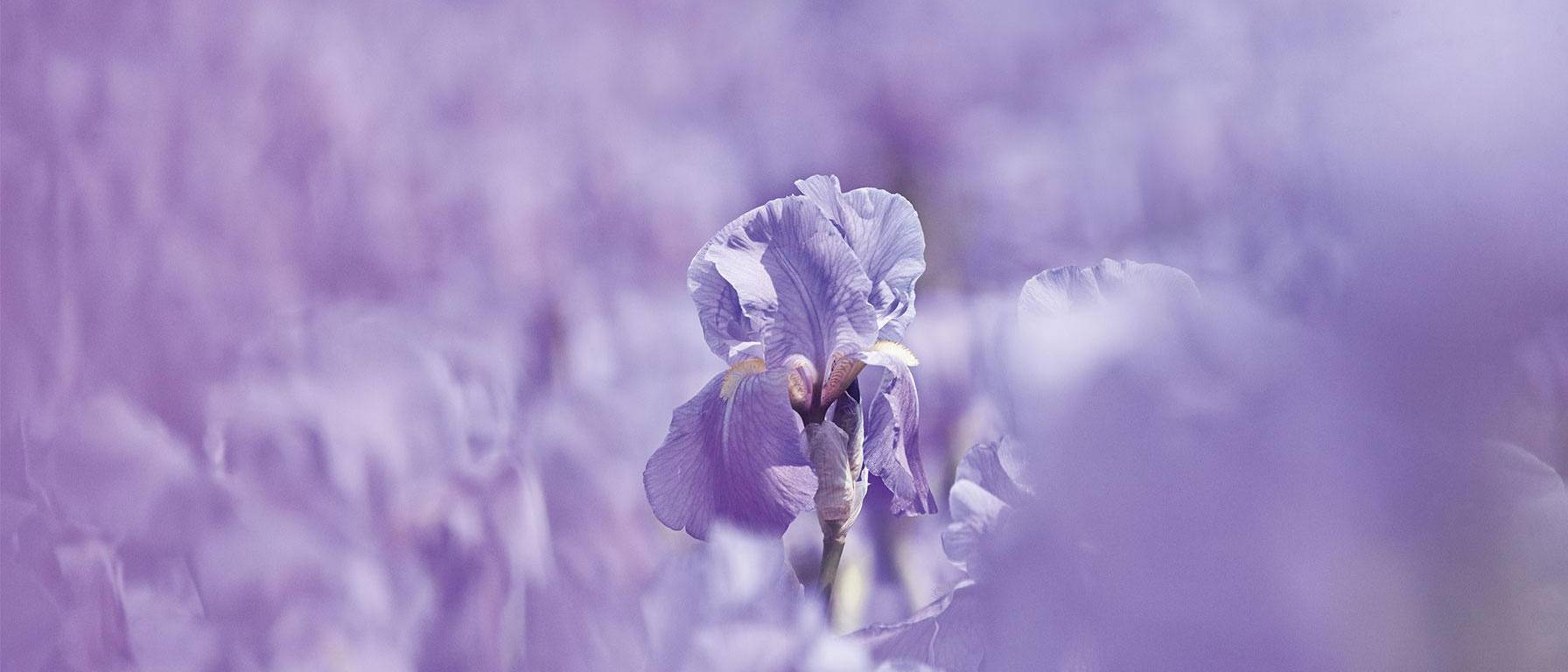 Iris blossom in purple field - Weleda