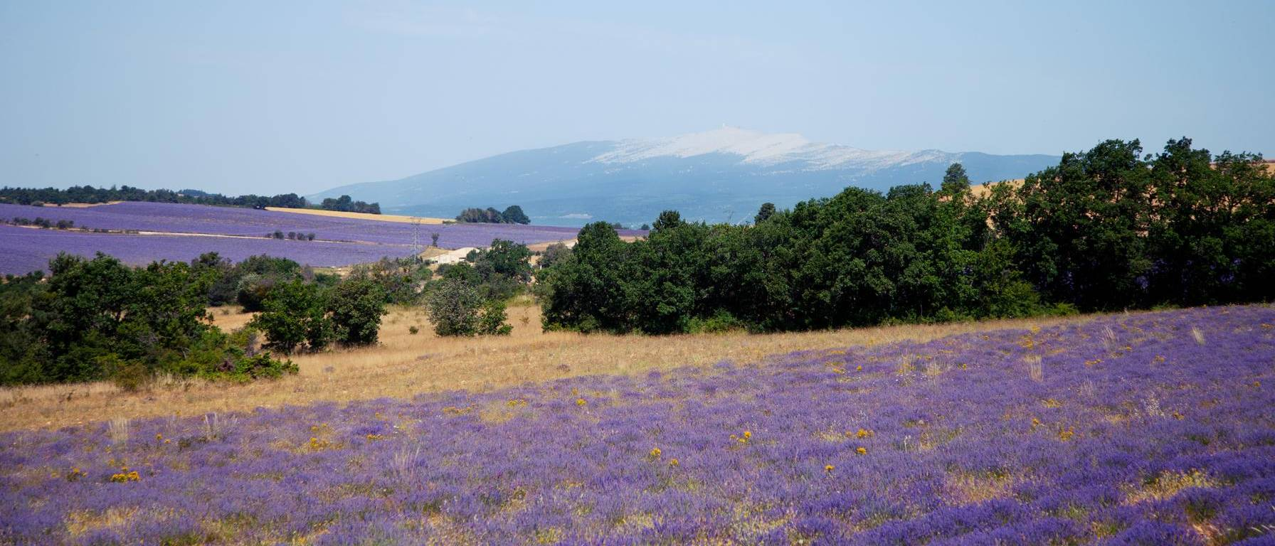 Image of lavender field