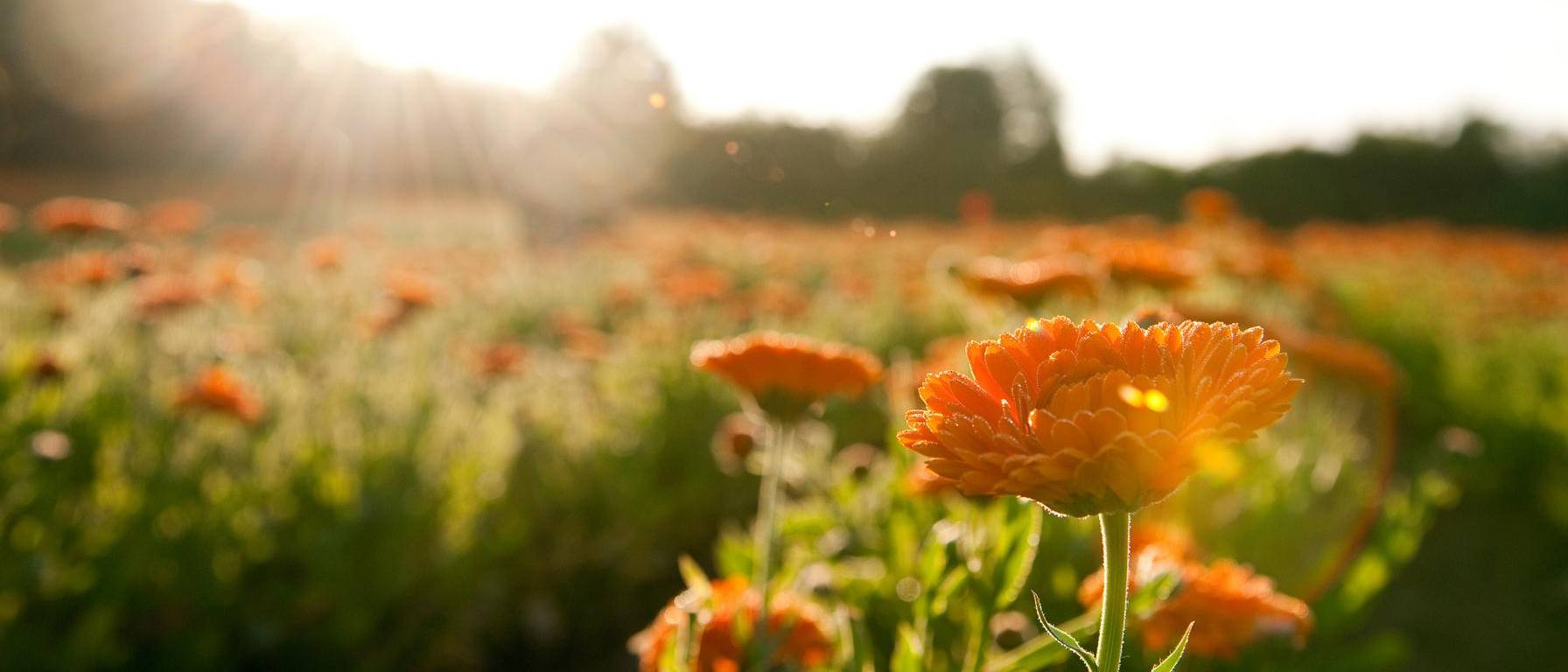 Image of calendula flower