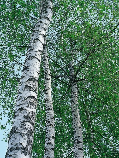 Image of birch tree
