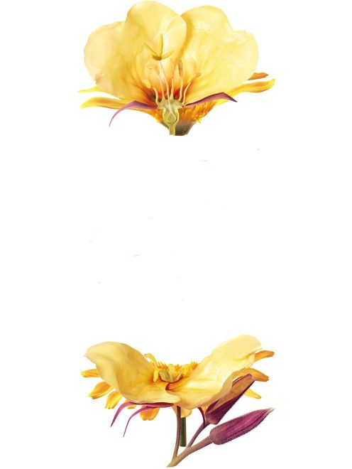 Image of Evening Primrose - Icon