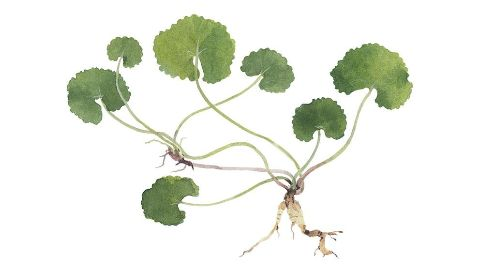 Centella Asiatica Flower/Leaf/Stem Extract