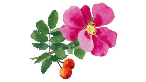 Wild Rose Leaf Extract