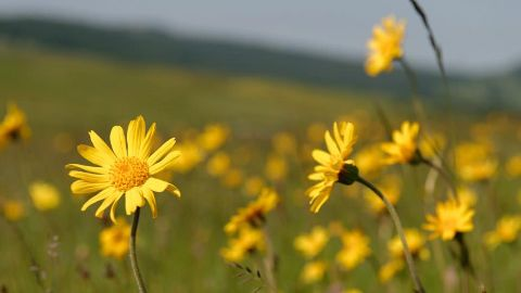 Arnica flower in field - Weleda