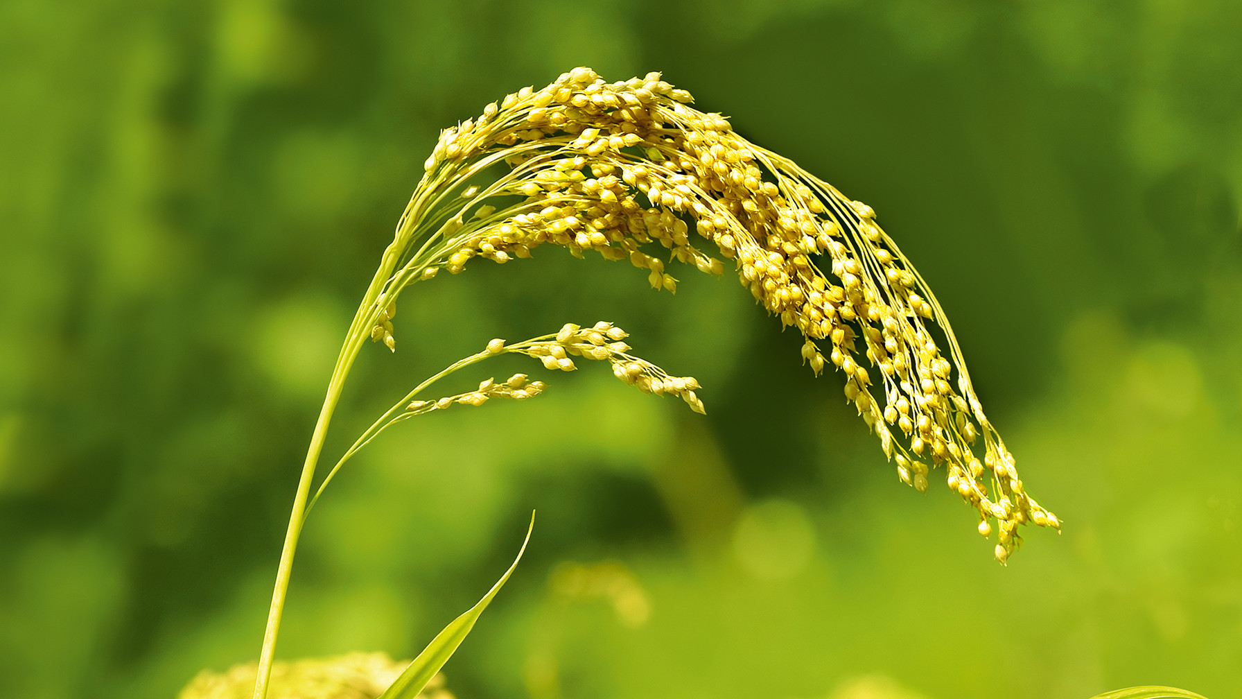 Image of millet plant