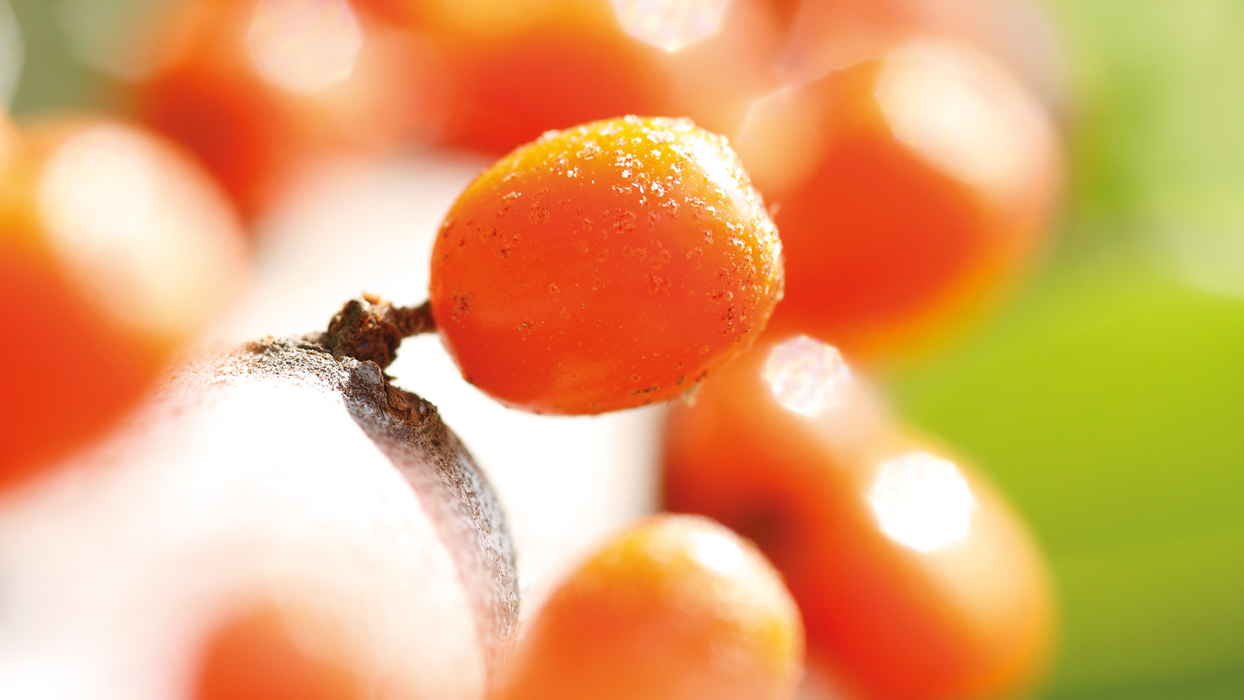 Image of sea buckthorn plant